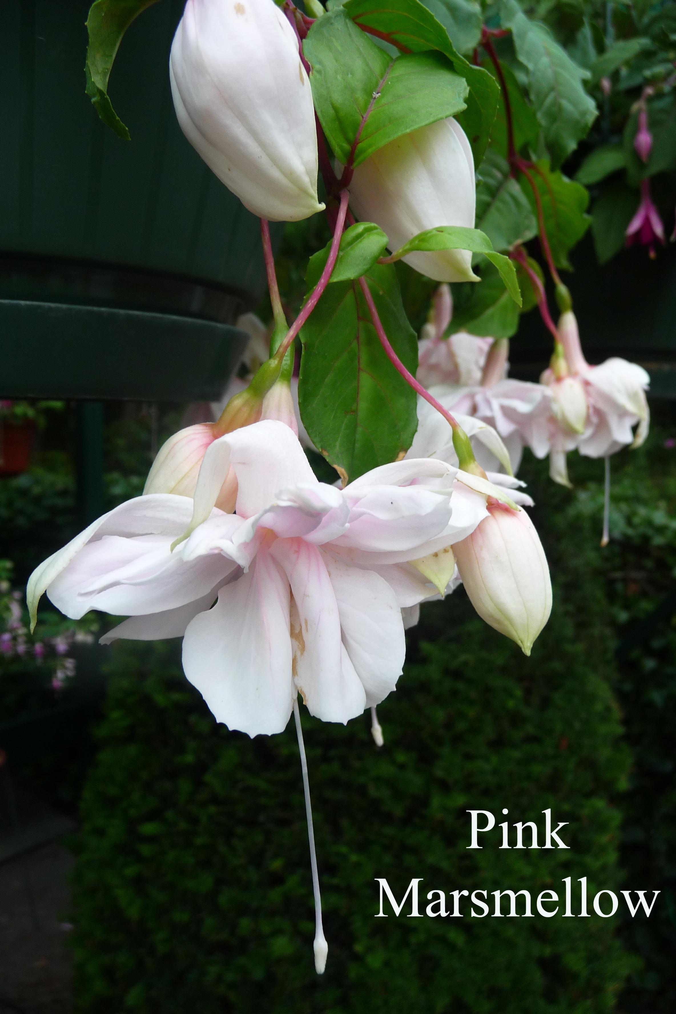 Pink Marsmellow